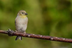 Chardonneret jaune/American goldfinch (jean-francoislavallée) Tags: oiseau bird aves nature wildlife chardonneretjaune americangoldfinch quebec canada nikon sigma automne fall