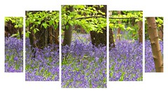 Bluebells five times (Audrey A Jackson) Tags: canon60d staffordshire hints blubellwood blue colour trees woodland nature leaves beauty