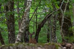 Lady Among The Beech Trees (TheNovaScotian1991) Tags: whitetaileddeer female beautiful pretty animal forest woods trees americanbeech outdoor green verdant nikond7100 nikkor55300mmf4556gedvr alert kejimkujiknationalpark novascotia canada summer