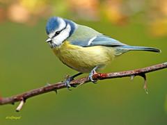 Herrerillo Común (Cyanistes caeruleus) (23) (eb3alfmiguel) Tags: aves passeriformes insectívoros paridae herrerillo común cyanistes caeruleus