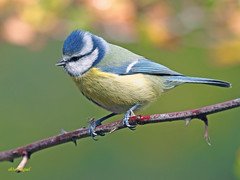 Herrerillo Común (Cyanistes caeruleus) (22) (eb3alfmiguel) Tags: aves passeriformes insectívoros paridae herrerillo común cyanistes caeruleus