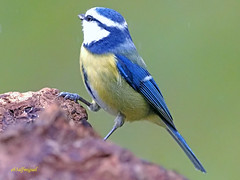 Herrerillo Común (Cyanistes caeruleus) (19) (eb3alfmiguel) Tags: aves passeriformes insectívoros paridae herrerillo común cyanistes caeruleus