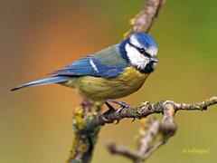 Herrerillo Común (Cyanistes caeruleus) (18) (eb3alfmiguel) Tags: aves passeriformes insectívoros paridae herrerillo común cyanistes caeruleus