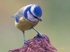 Herrerillo Común (Cyanistes caeruleus) (15) (eb3alfmiguel) Tags: aves passeriformes insectívoros paridae herrerillo común cyanistes caeruleus