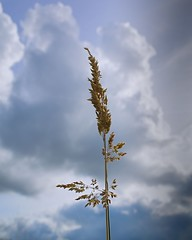 September sunshine (Oliver (Wolbadger)) Tags: ricohgr nature apsc cmos 28mm compact ricoh gr september clouds autumn macro fall grass outdoor lancashire england uk unitedkingdom preston