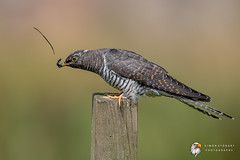 Cuckoo (Simon Stobart) Tags: cuckoo juv cuculus canorus eating caterpillar north east england uk