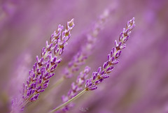 Lavender on purple bokeh background (gilles-B) Tags: france bunch flowers purple beauty botany provence lavand flora french flower violet background lilac isolated lavender nature herb bloom lavande botanical aromatic decoration art natural aroma floral fresh lavander outdoor lavandula plant blossom bouquet garden countryside herbal colorful macro beautiful lavendin perfume summer aromatherapy wallpaper blooming nobody illustration fragrance field