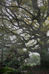 The Oak of Breslon (PhrozenTime/WAHLBRINKPhoto) Tags: lechenedebreslon biology plant tree deciduous quercuspetraea cornishoak durmastoak sessileoak timeofyear autumn fall abstract affinityphoto baindebretagne illeetvilaine35 france