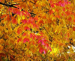 Coloring in Red (Demmer S) Tags: leaves red nature tree branches fall autumn colorful foliage dense outdoors arboreal outside plants botanic botanical treebranches seasonal plant seasons leaf branch trees yellow orange closeup close woods forest digitalartist abstract creativeedit artsy
