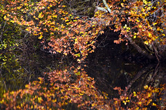 Basingstoke Canal Deepcut-Pirbright 6 November 2019 016 (paul_appleyard) Tags: basingstoke canal deepcut november 2019 reflections reflected autumn colours fall colors