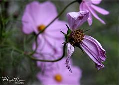 Leaving... (angelakanner) Tags: canon70d tamron18400 cosmos garden longisland pink closeup
