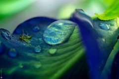 A dead mosquito and a giant water droplet on a blue Turnate flower (Lr Home) Tags: sel30m35 macro rain droplets a6000