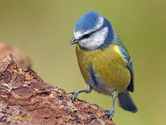 Herrerillo Común (Cyanistes caeruleus) (21) (eb3alfmiguel) Tags: aves passeriformes insectívoros paridae herrerillo común cyanistes caeruleus