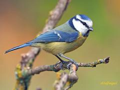 Herrerillo Común (Cyanistes caeruleus) (16) (eb3alfmiguel) Tags: aves passeriformes insectívoros paridae herrerillo común cyanistes caeruleus