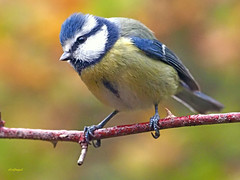Herrerillo Común (Cyanistes caeruleus) (8) (eb3alfmiguel) Tags: aves passeriformes insectívoros paridae herrerillo común cyanistes caeruleus