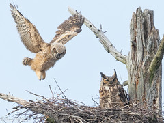 Trying out his wings (NorthShoreTina) Tags: greathornedowl owlet owl
