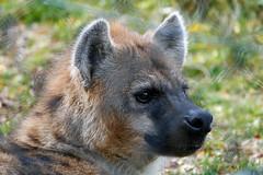 DSC01484B (The Real Maverick) Tags: metrotorontozoo zoo toronto scarborough ontario canada autumn hyena spottedhyena