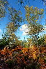 Denecourt hiking path 6 (hbensliman.free.fr) Tags: forest nature landscape france outdoor plant foliage pentax pentaxart pentaxk1 europe fontainebleau autumn season