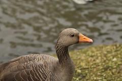 Greylag goose, WWT Slimbridge, UK (inyathi) Tags: uk england gloucestershire wwt slimbridge wildfowlandwetlandstrust wildfowl waterfowl goose geese birds greylaggoose anseranser