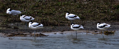 Five pied avocet resting on the pond (gilles-B) Tags: france spring curved nature long plumage lake background adult sea feather beach avocet bird black pied mud swamp white wetland legs migrants outdoors environment european birds wild outdoor avocets species birdwatching shore piedavocet animal leg natural wildlife beautiful limikolen water wader avosetta recurvirostra marsh fauna europe migratory coast