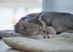 20190804_09_LR (enno7898) Tags: cat pet abyssinian panasonic lumix lumixg9 dcg9 35100mm xvario f28