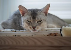 20190804_05_LR (enno7898) Tags: cat pet abyssinian panasonic lumix lumixg9 dcg9 35100mm xvario f28