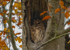 IMG_6614 (fletchlewista2) Tags: tawny owl bird pray raptor wildlife nature canon sigma