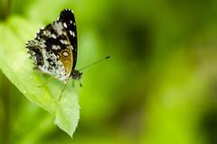 Me posa (::: M @ X :::) Tags: mariposa butterfly bokeh green