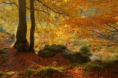 Autumn Woodland in November (Alan MacKenzie) Tags: autumn fall november woodland forest beech sunset light shadows mature outside trees orange