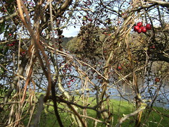 Flooded pasture (Mrs Fogey) Tags: water floodwater hedge hips haws berries pasture