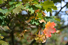 Maple (Acer) (Seventh Heaven Photography - (Flora)) Tags: maple acer tree autumn plant leaves seeds nikond3200 foliage sapindaceae shrubs bokeh