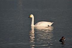Bewick's swan, WWT Slimbridge, UK (inyathi) Tags: uk england gloucestershire wwt slimbridge wildfowlandwetlandstrust wildfowl waterfowl swans bewicksswan cygnuscolumbianusbewickii