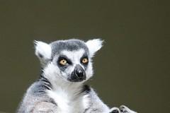 The Eyes of Lemur (Jan Nagalski) Tags: animal zooanimal captiveanimal lemur ringtailedlemur lemurcatta madagascar endangeredspecies eyes bigeyes nature toledozooandaquarium toledo ohio jannagalski jannagal