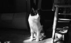 Gavin (neilsonabeel) Tags: leicam6 leica summicron 50mm film analogue blackandwhite pet cat cats tuxedocat rangefinder leitz animal