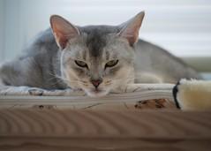 20190804_04_LR (enno7898) Tags: cat pet abyssinian panasonic lumix lumixg9 dcg9 35100mm xvario f28