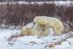 Churchill Canada IJsberen17 (J.Dijkstra) Tags: canada churchill ijsberen