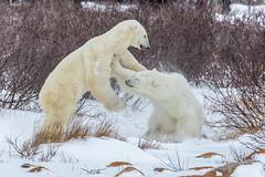 Churchill Canada IJsberen18 (J.Dijkstra) Tags: canada churchill ijsberen