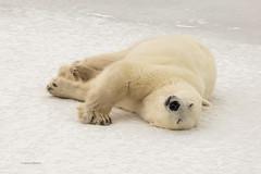 Churchill Canada IJsberen20 (J.Dijkstra) Tags: canada churchill ijsberen