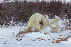 Churchill Canada IJsberen16 (J.Dijkstra) Tags: canada churchill ijsberen
