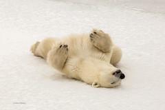 Churchill Canada IJsberen23 (J.Dijkstra) Tags: canada churchill ijsberen