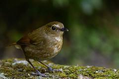 MPP_6908 (Marco N. Pochi) Tags: d850 nikon nikkor nature n500pf 500pf wildlife bird hongkong lesser shortwing