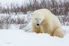 Churchill Canada IJsberen32 (J.Dijkstra) Tags: canada churchill ijsberen