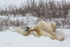Churchill Canada IJsberen34 (J.Dijkstra) Tags: canada churchill ijsberen