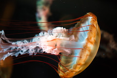 Violet (Thomas Hawk) Tags: america chicago cnidaria cookcounty illinois johngsheddaquarium museumcampuschicago sheddaquarium usa unitedstates unitedstatesofamerica aquarium jellies jellyfish pink fav10 fav25 fav50