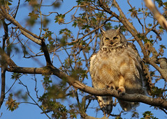 Great Horned Owl...#7 (Guy Lichter Photography - 5.3M views Thank you) Tags: canon 5d3 canada manitoba winnipeg wildlife animal animals bird birds owl owls greathornedowl