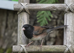 Backyard Bird (nickinthegarden) Tags: darkeyedjunco abbotsfordbccanada