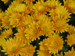 Golden Goodbye (Marit Buelens) Tags: flower plant bloem blume fleur flores chrysanthemum mums chrysanth golden orange yellow leaf petal goodbye farewell