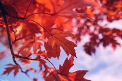 Autumn serenades (gusdiaz) Tags: autumn fall otoño hojas leaves october november sky cielo octubre noviembre xt2 wide macro closeup nature naturaleza arbol tree arboles trees cold frio red rojo hermoso beautiful vsco
