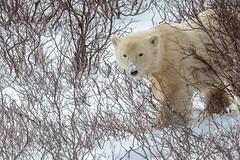 Churchill Canada IJsberen44 (J.Dijkstra) Tags: canada churchill ijsberen