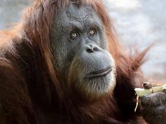 Eyes to the Sky (helenehoffman) Tags: conservationstatuscriticallyendangered orangutan sandiegozoo pongoabelii karen indonesia sumatra animal fantasticnature coth coth5 primate